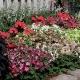 Nicotiana Alata / tabac fleur 500 graines