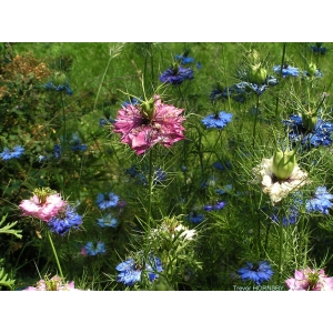 Nigella damascena /  love in the mist mixed 200 seeds