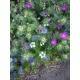 nigella damascena / Arañuela de persia variado 200 semillas