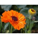 Calendula officinalis / Caléndula variada 100 semillas