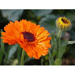 Calendula officinalis / calendula 100 graines