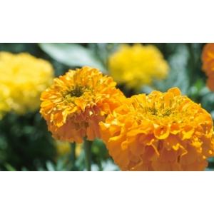 Tagetes erecta / TAGETE élevés (Carnation chinois) 100 graines