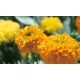 Tagete erecta / Marigold tall double mix variado 100 seed