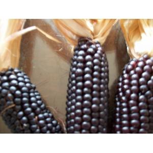 maïs noir  30 graines