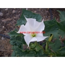 Datura stramoniun / Trumpet angels 130 seeds