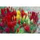 Celosia argentea var. plumosa / Celosia, amaranto plumoso variado 100 semillas