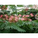 Albizia julibrissin / Acacia de Constantinopla 50 semillas