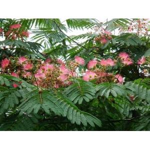 Albizia julibrissin / Arbre Mimosa 50 graines