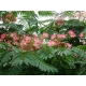 Albizia julibrissin / Silk Tree, Mimosa Tree 50 seeds