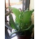 Kalanchoe daigremontiana (Espinazo del diablo, aranto) 10 hijuelos