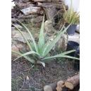 Aloe Vera 1 plant ( 10 - 20 CM.)
