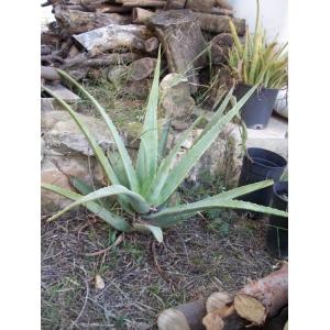 Aloe Vera 1 planta (7 cm. aprox.)