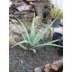 Aloe Vera 1 plant ( 7 CM. aprox.)