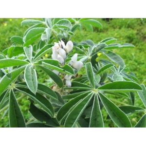 Lupinus albus / Lupin 35 graines