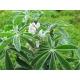 Lupinus albus / Lupini bean 35 seeds