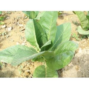 TN 90 Burley tabaco  ( nicotiana tabacum ) +500 graines