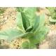 TN 90 Burley tabaco  ( nicotiana tabacum ) +500 semillas