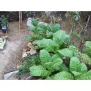 Cuban havana tabaco  (nicotiana tabacum) +500 semillas