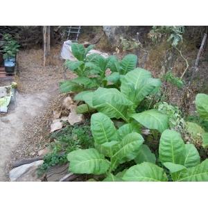 Adonis tobacco  (nicotiana tabacum) +500 seeds