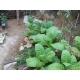 Cuban havana tobacco  (nicotiana tabacum) +500 seeds