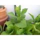 Hacienda del cura habano tabaco ( nicotiana tabacum) +500 graines