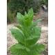 BASMA tabaco oriental  (nicotiana tabacum var. Basma) +500 semillas