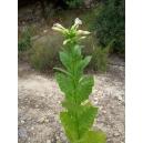 SANSOUN tabaco oriental ( nicotiana tabacum var. Sansoun) +500 semillas