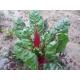 Acelga penca roja Rhubarb chard 30 semillas