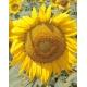 Girasol para pipas (Helianthus annuus) 30 semillas