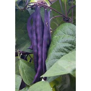 Judía / Alubia morada enrame (Phaseolus vulgare) 30 semillas