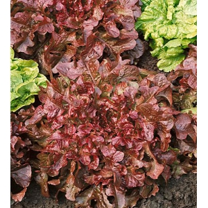 "Lechuga roja ""red salad bowl"" 100 semillas"