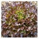 Lettuce Pesciatina 100 seeds