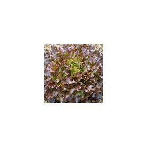 Lechuga Pesciatina 100 semillas