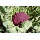 Chou-fleur Violet de Sicile - 100 graines