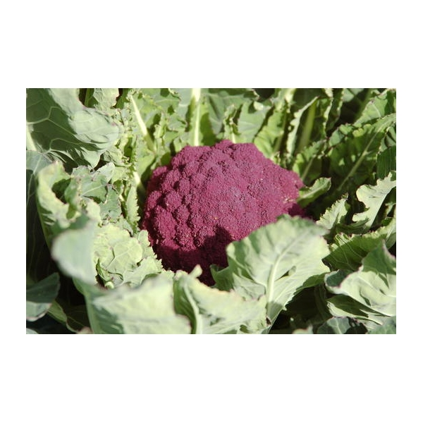 Chou Fleur Violet De Sicile 100 Graines Cibergarden