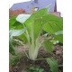 Pac choy, col china (Brassicca chinensis) 100 semillas