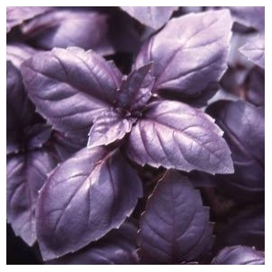 "Le basilic pourpre ""red rubin"" 50 graines"