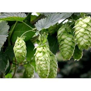 Humulus lupulus (common hop or hop) 40 seeds