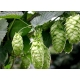 Humulus lupulus (common hop or hop) 40 seeds
