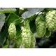 Humulus lupulus ( lupulo) 40 semillas