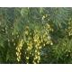Azadirachta indica (Árbol del neem) 25 semillas