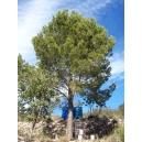 Pinus halepensis (Pino carrasco) 25 semillas