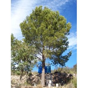 Pinus halepensis (pin d'Alep) 25 graines