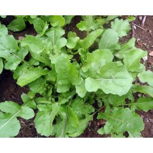 Eruca sativa (roquette, pissenlit) 100 graines