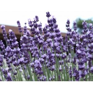 Lavandula angustifolia (English Lavender ) 200 seeds