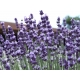 Lavandula angustifolia (English Lavender ) 200 seeds