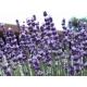 Lavandula angustifolia (lavande) 200 graines